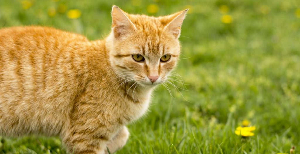 Yellow cat in the grass